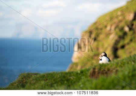 Atlantic Puffins, Fratercula Arctica
