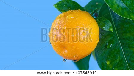 Citrus, orange, mandarin fruits branch in the garden. Summer time photo orange tree. Blue sky background, sunny day. Leaves and fruit with water drops. Copy space, closeup. poster