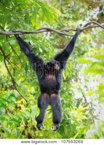 Wild Siamang Gibbon