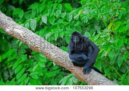 Wild Spider Monkey