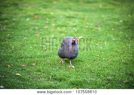 Beautiful Guinea Fowl Bird