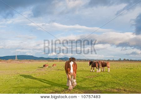 Herd of Clydesdale Horses
