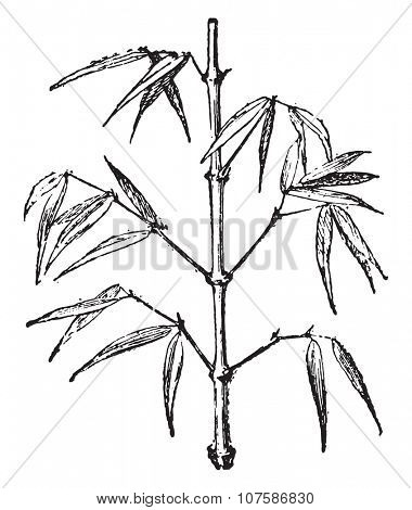 Bamboo, vintage engraved illustration. Dictionary of words and things - Larive and Fleury - 1895.