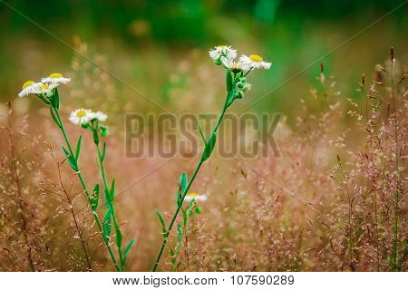 White Daisies On A Yellow Meadow