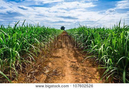 Road In Sugarcane Farm.