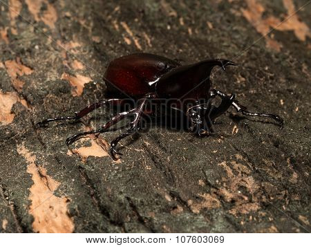 Male Rhinoceros Beetle
