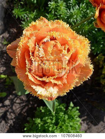 Sensual Touch tulip. Fringed beautiful orange tulip poster