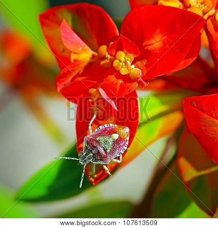 Defenders berry berry or bug (Latin name Dolycoris baccarum) on a flower garden Euphorbia (Euphorbia griffithii Fireglow) poster