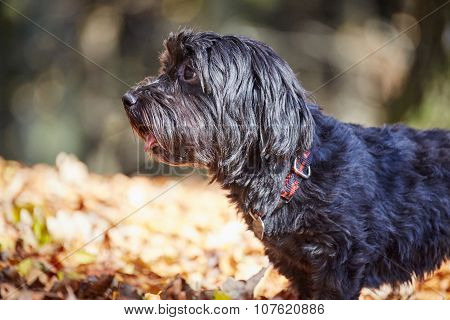 Two Havanese Dogs Playing In Forrest In Autumn