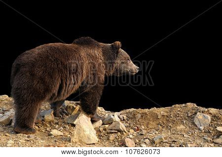Brown Bear On Dark Background