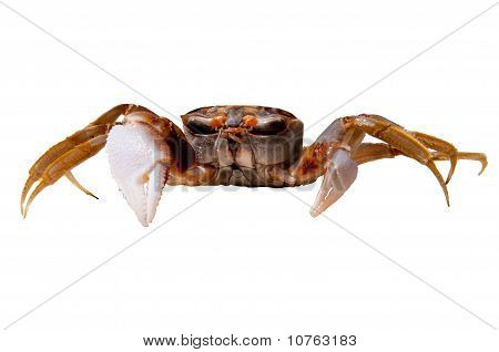 Crab On The White