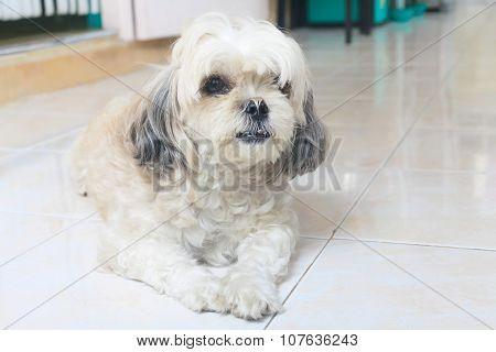 Shih tzu dog are lying down in the house.