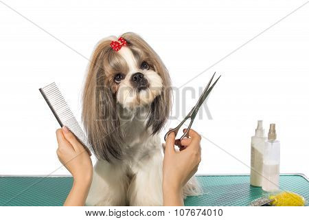Beautiful Shih-tzu At The Groomer's Hands
