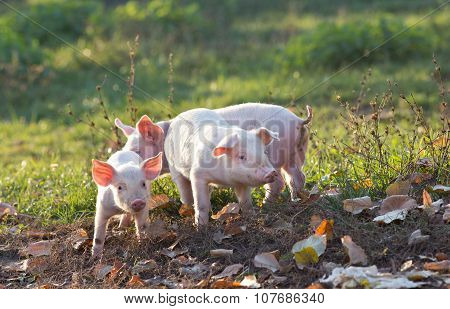 Piglets Walking On Farm