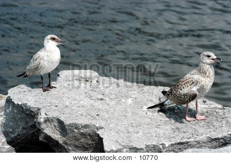Birds Seagulls