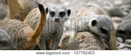 Meerkat Family In Fota Wildlife Park