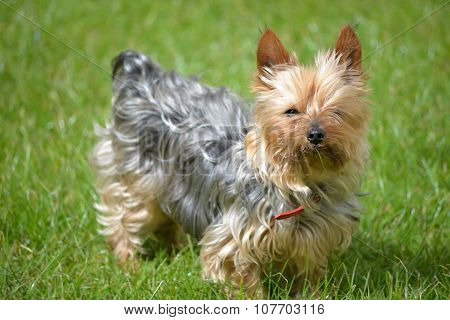 Mini Yorkie Dog On The Grass