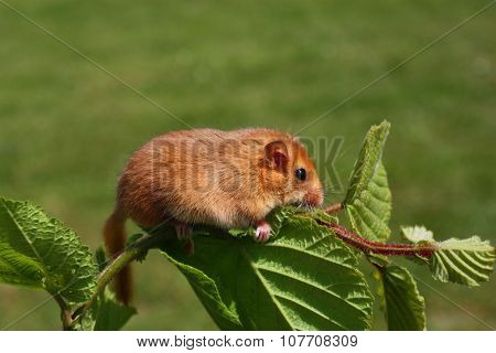 Dormouse Muscardinus Avellanarius