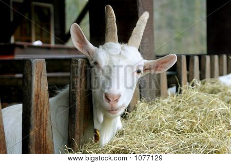 Goat Looking Into Camera