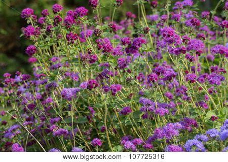 Ageratum Flowers