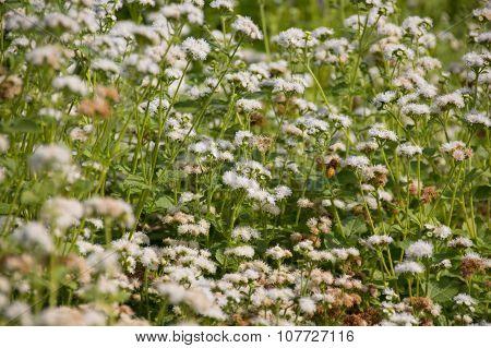 Bumblebee Near Ageratum Flowers