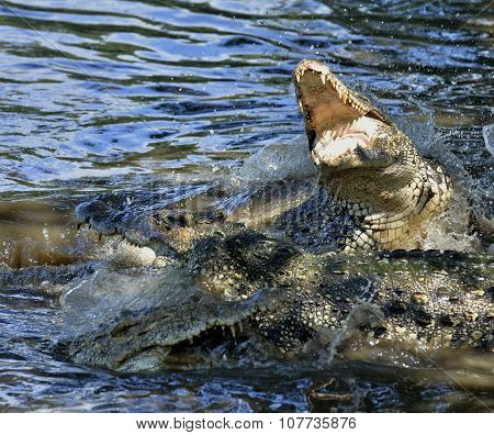 The Cuban Crocodile Jumps Out Of The Water.