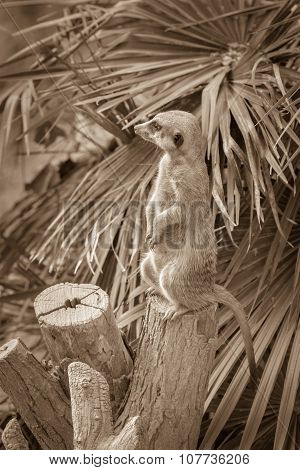 Meerkat Standing On A Tree Stump On A Background Of Palm Leaf In The Zoo. Vertical Scene Of Curios M