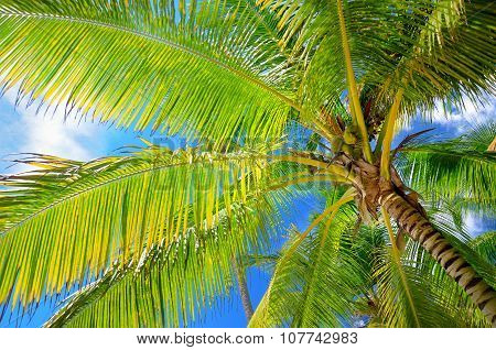 Coconut Palm Trees In The Blue Sky With Fluffy Clouds Perspective View
