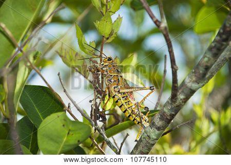 Lubber Grasshopper Eating Leaves