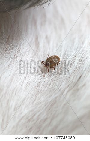 Big Ticks On A Dog.