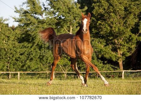 Young Horse Trotting On Pasture