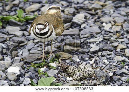 Killdeer And Nest