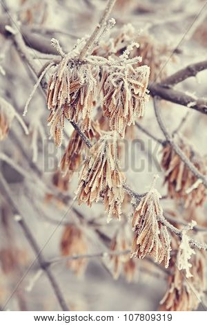 Macro Maple Seeds On A Branch In Frost