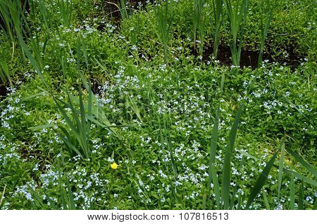 True forget-me-nots (Myosotis scorpioides) blooming among cattails in a swamp in Harbor Springs, Michigan. poster