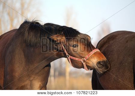 Brown Horse Attacking Another One