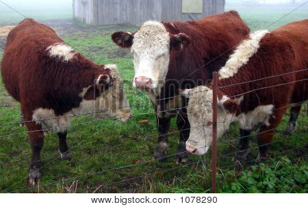 three cows looking as though they are discussing something. poster