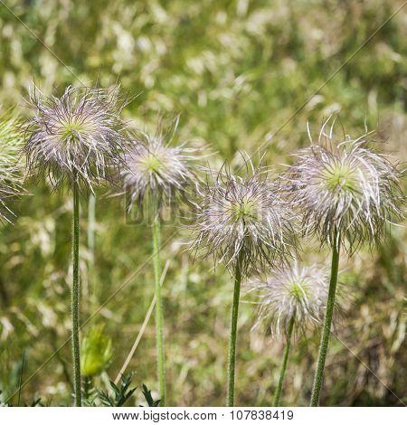 Seedheads of European Pasqueflower