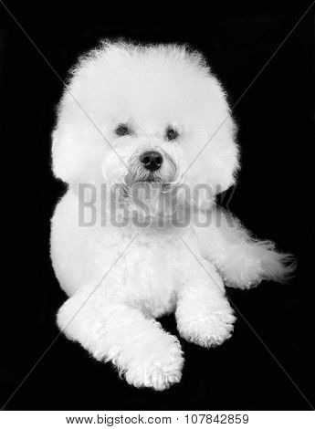 poster of Bichon frise fluffy white dog isolated on the black background