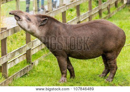 Tapir at fence