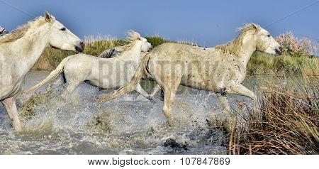 Herd Of White Horses Running Through Water In Sunset Light.