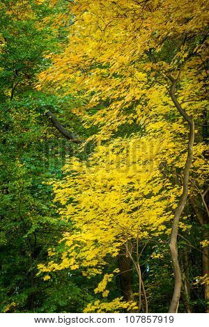 Yellow and green leaves in the autumn forest