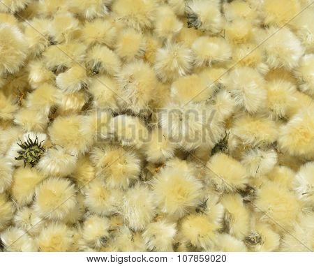Dried Flowers Dandelion