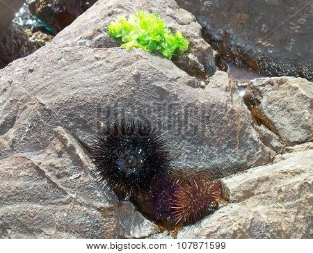 Sea urchins are echinoderms class on the rocks