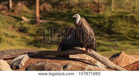 African white-backed vulture, Gyps africanus