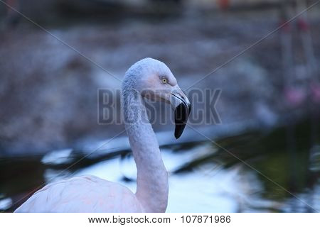 Chilean flamingos, Phoenicopterus chilensis