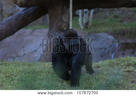 Gorillas can be found in tropical forests