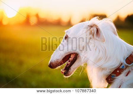 White Russian Dog, Borzoi, Hunting dog in Summer Sunset Sunrise