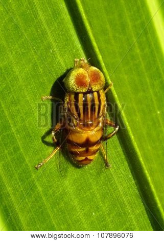 Closeup of a strange bee-like insect resting on leaf