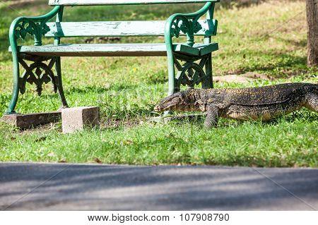 The Monitor Lizard