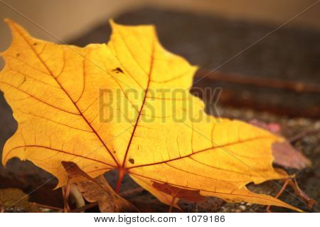 Yellow Leaf With Red Veins